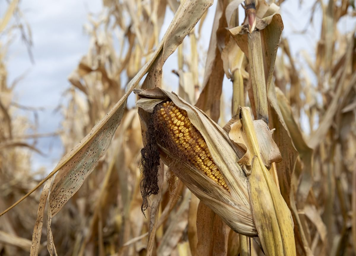 China Approves Two GMO Corn Strains for Imports as Demand Soars