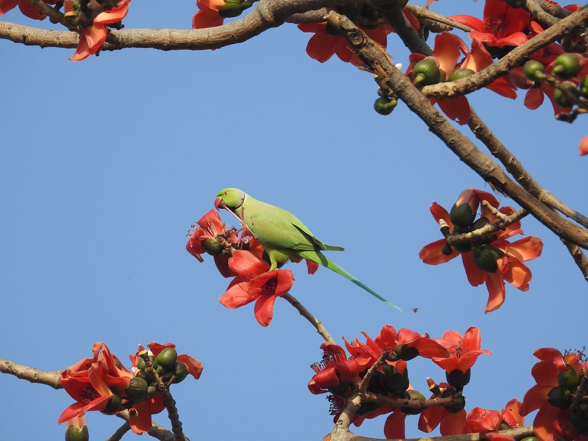 A Rose-Ringed Parakeet feeds on a Semal in the iconic Humayun's Tomb Complex in Delhi. (Photographer: Neha Sinha)