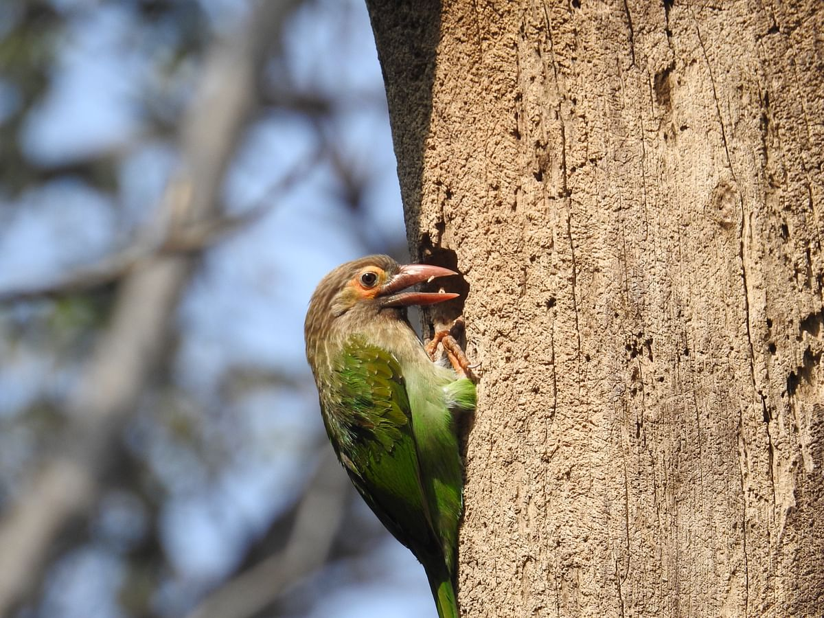 A Brown-Headed Barbet excavates a nesting hole in a dead tree. (Photographer: Neha Sinha)