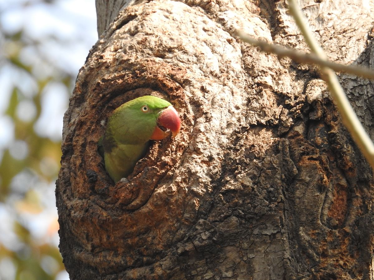 A female Rose-Ringed Parakeet defends her nest-hole from Common Mynas. (Photographer: Neha Sinha)