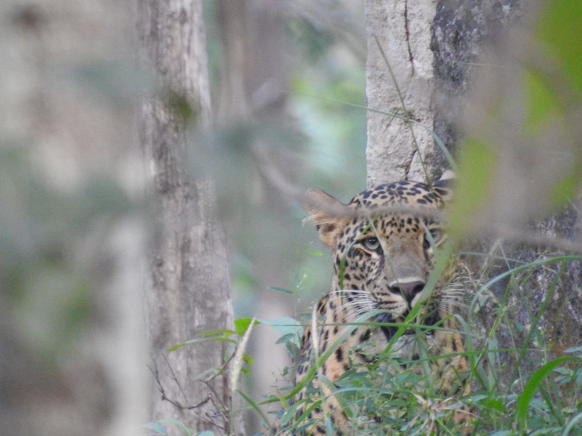 A leopard looks out from an escarpment of rock in Central India. (Photograph: Neha Sinha)