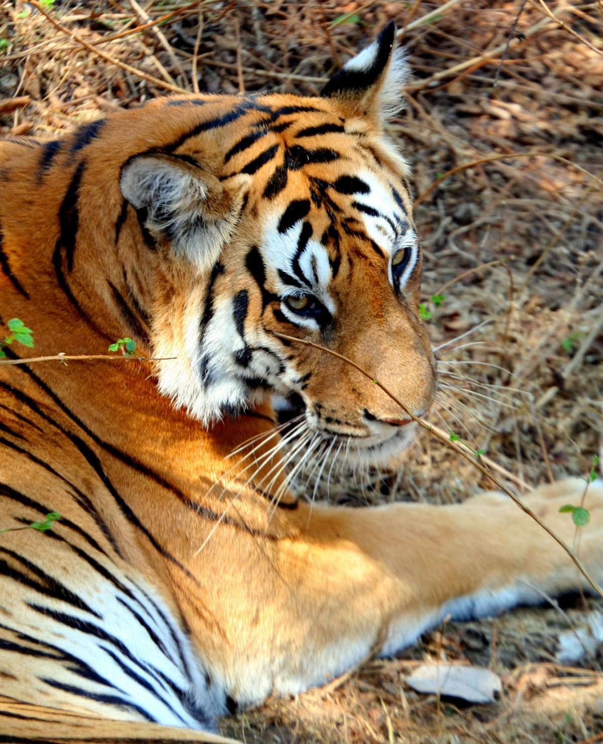A tigress rests in the shade at Pench National Park in the Seoni District of Madhya Pradesh. (Adam Majendie/Bloomberg News)