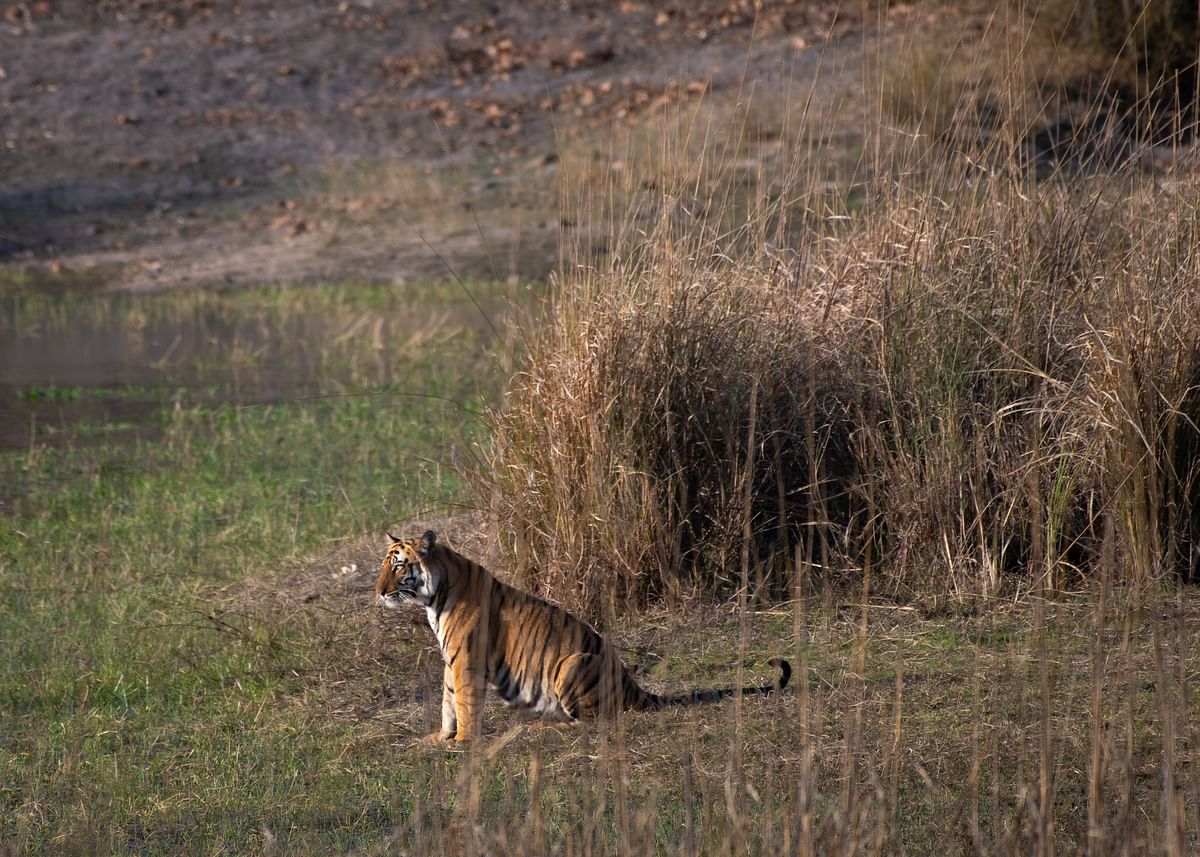 Tigers are solitary animals that identify and defend territory daily. Here, a tiger looks out over its territory. (Photograph courtesy: Aditya Panda / Via Neha Sinha)