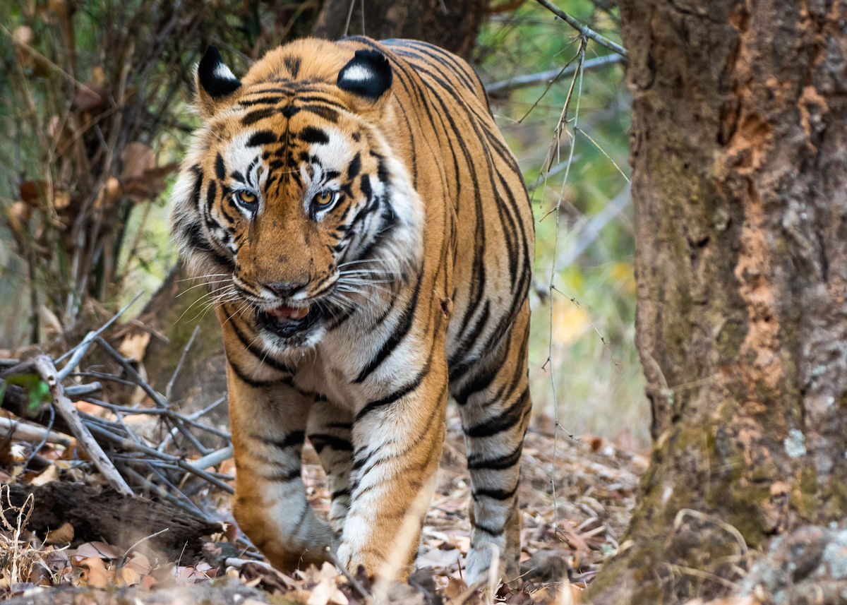 Distress Signals From India's Tiger Reserves