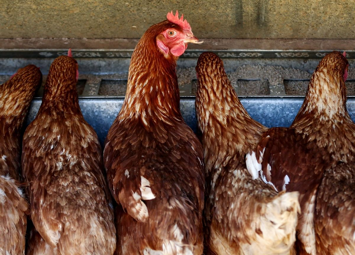 Feeding Chickens Is So Costly It's Changing Global Trade Flows