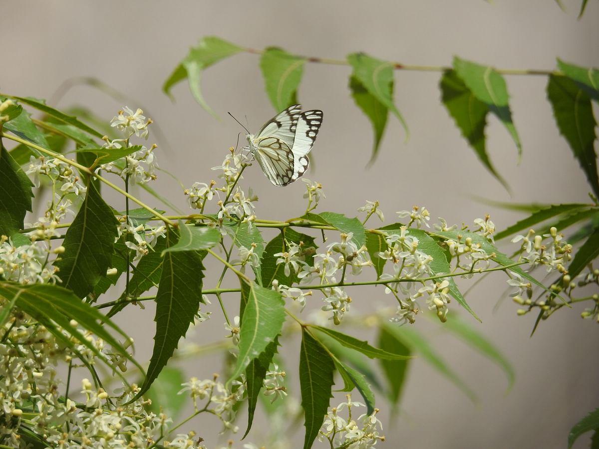 Migratory pioneer butterflies on a Neem tree. (Photographer: Neha Sinha)