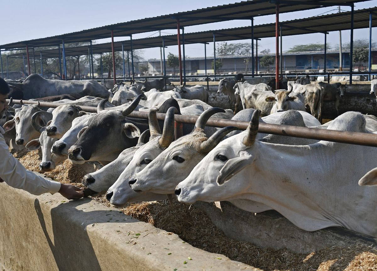 PETA Goes on Attack in India Over Milk Giant's Treatment of Cows