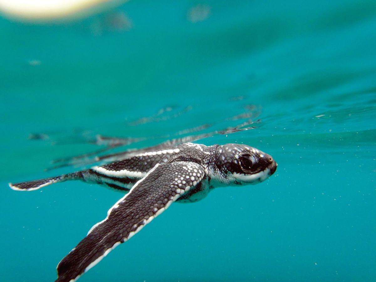 "<div class=""paragraphs""><p>Leatherback Turtle hatchling.&nbsp;(Photograph: Adhith Swaminathan, Via Neha Sinha)</p></div>"