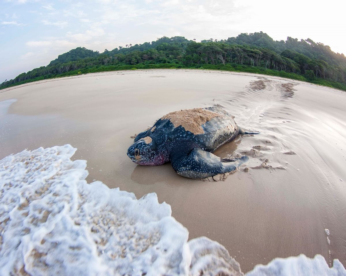 """<div class=""""paragraphs""""><p>Adult Leatherback Turtle.&nbsp;These are the biggest turtles on earth, and&nbsp;can weigh above 500 kilograms.(Photograph: Adhith Swaminathan, Via Neha Sinha)&nbsp;</p></div>"""