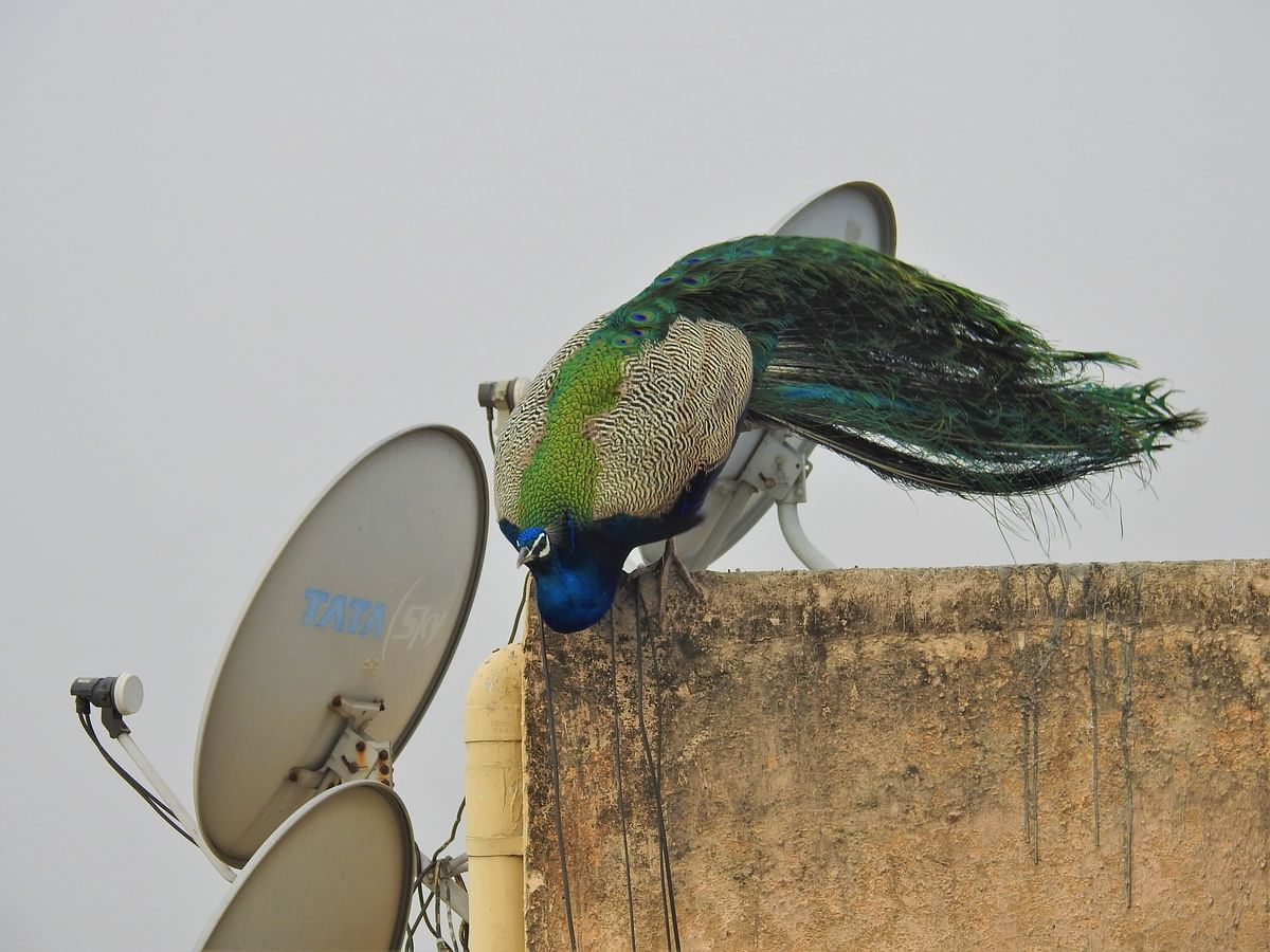 """<div class=""""paragraphs""""><p>In cities, the birds have made themselves at home in rooftops with dish antennas. (Photograph: Neha Sinha)</p></div>"""