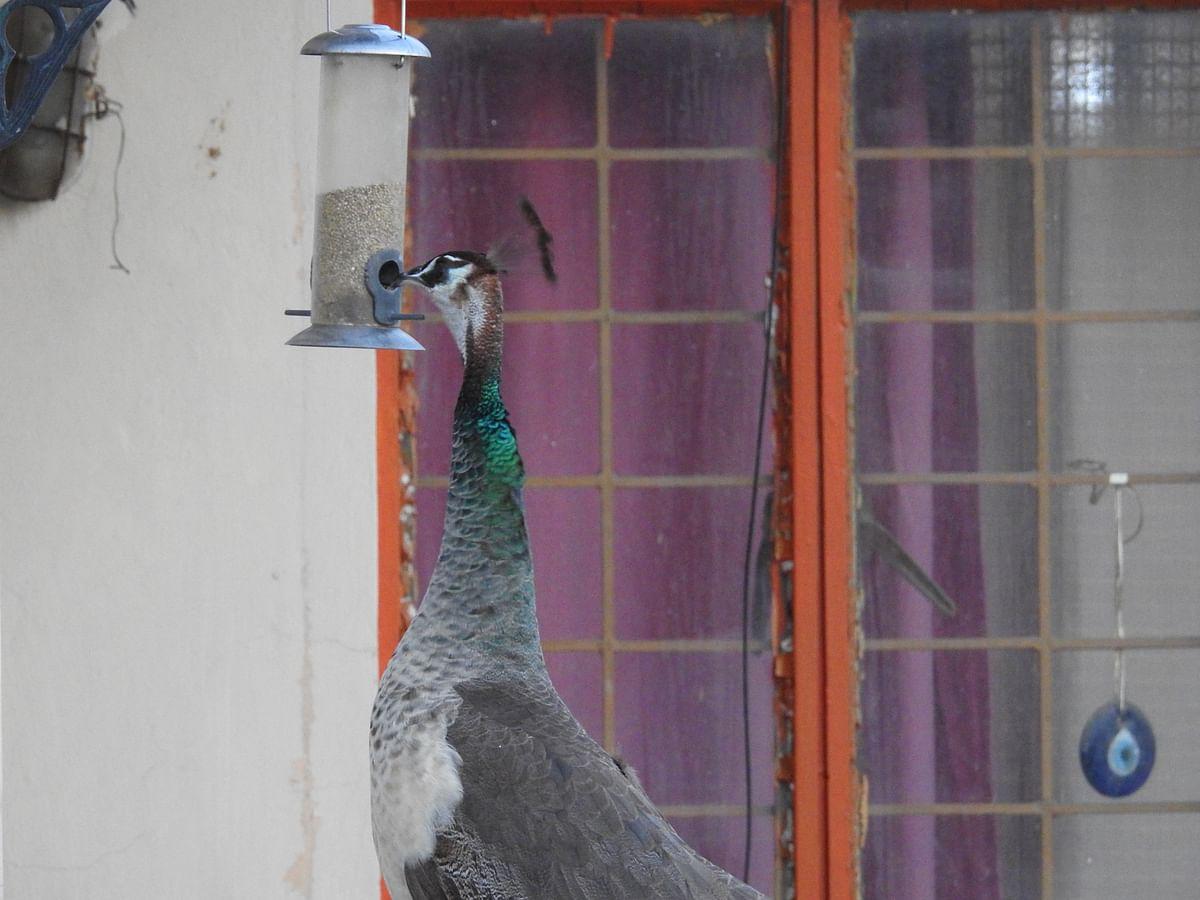 "<div class=""paragraphs""><p>A peahen helps herself to a bird feeder in Delhi. (Photograph: Neha Sinha)</p></div>"
