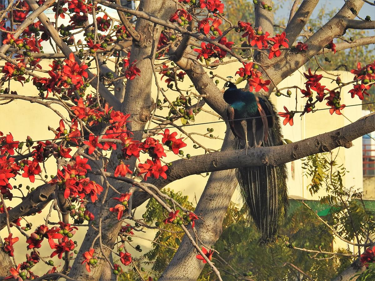 """<div class=""""paragraphs""""><p>Like a modern Mughal painting, a peacock sits on a blossoming Semal tree. (Photograph: Neha Sinha)</p></div>"""