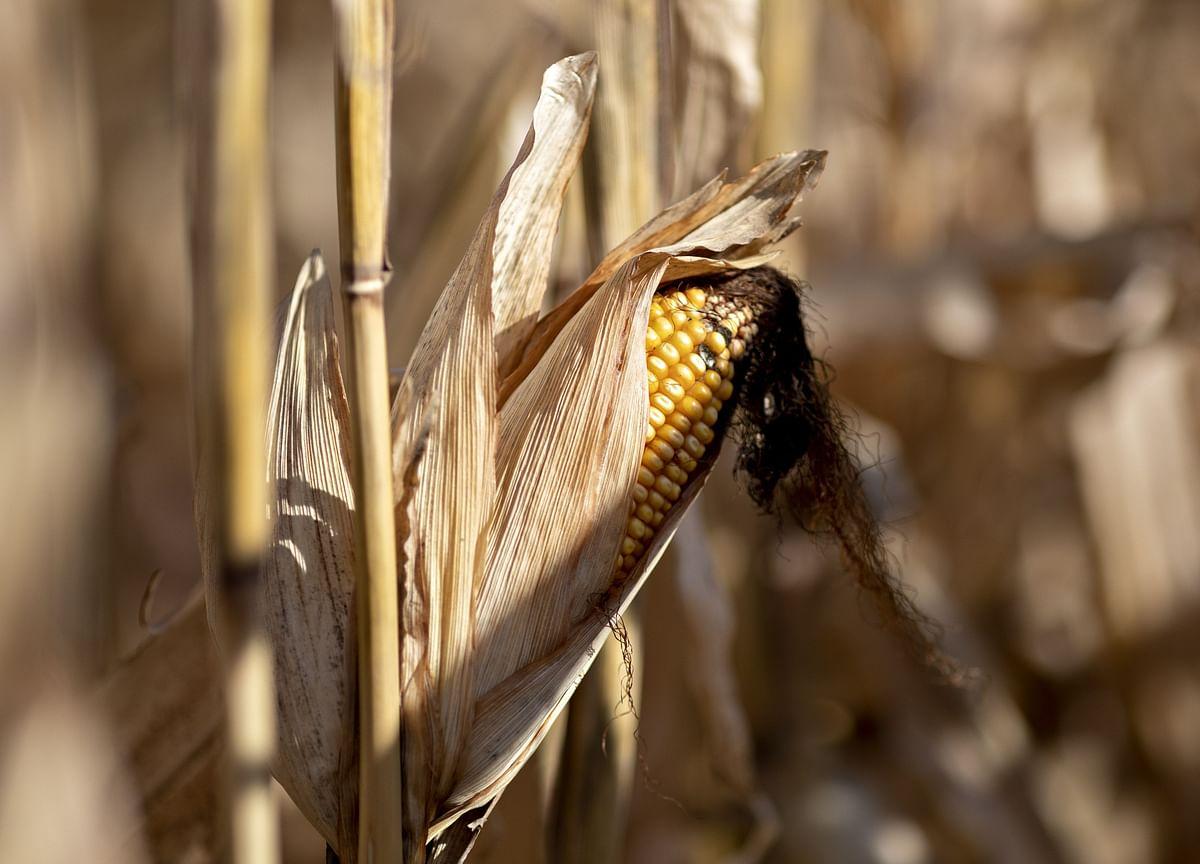 China Set to Hit Pause Button on U.S. Corn Buying on Weak Market