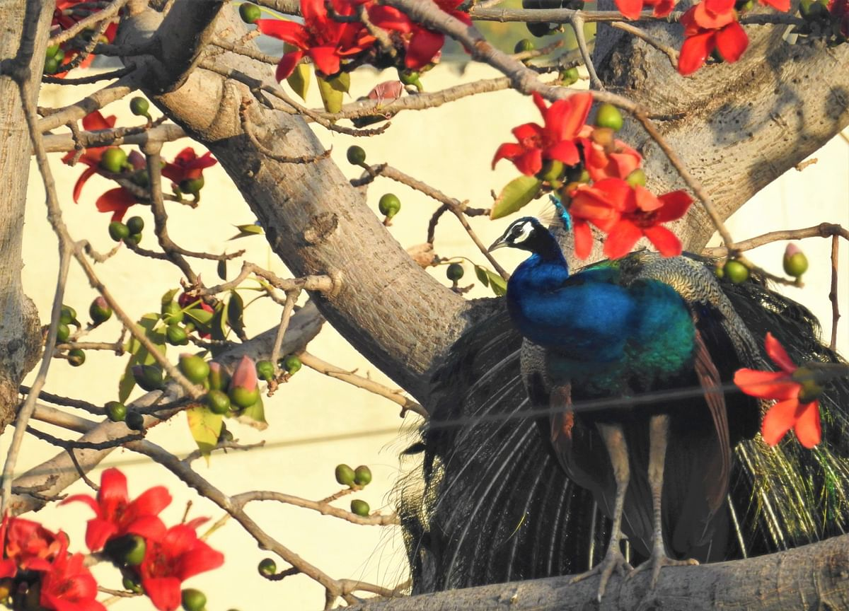 Prancing Peacocks: An Indian Monsoon Story
