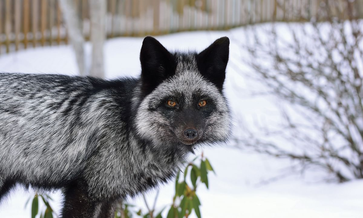 Fox Domestication and Poison Resistance in Rodents