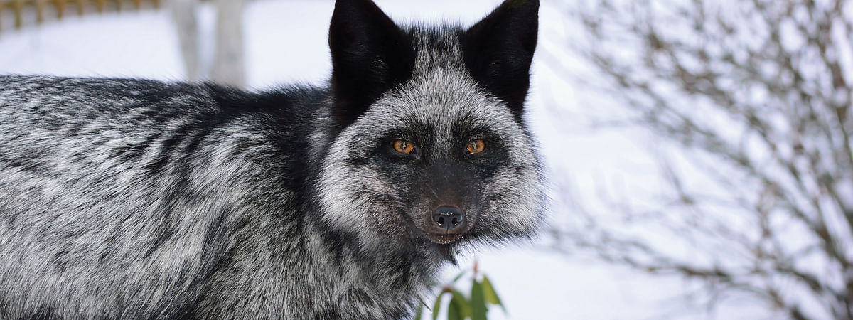 An experiment with silver fox (Vulpus vulpus) supports theories on how the domestication of dogs occured.