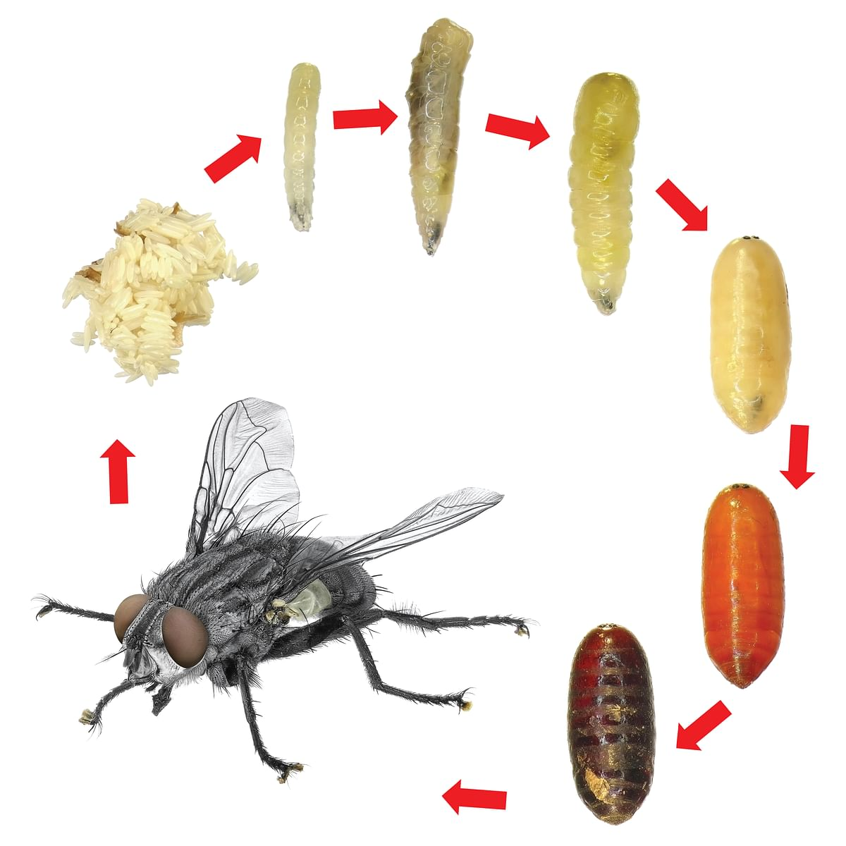 Fly development stages