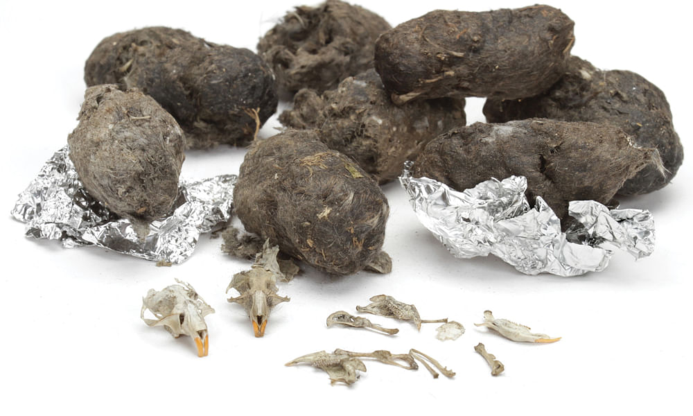 What Are Owl Pellets? Learn More With This Dissection and Video