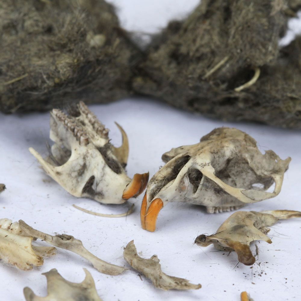 Skulls and other bones can be found during an owl pellet dissection.