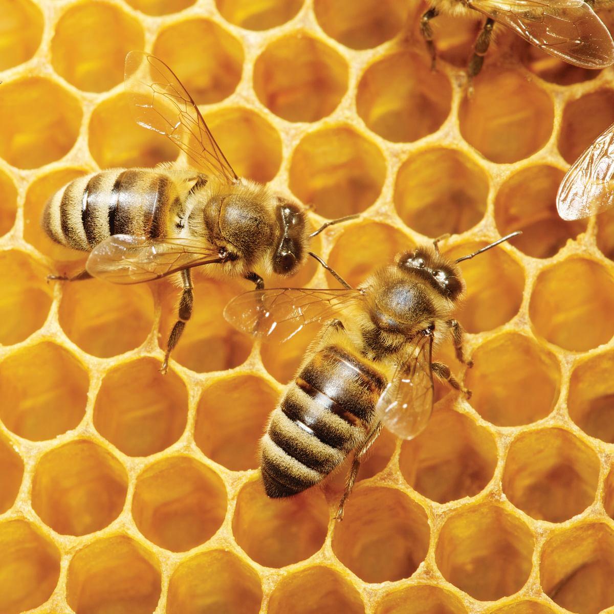 Investigating Phenomena: Why Do Bees Dance?