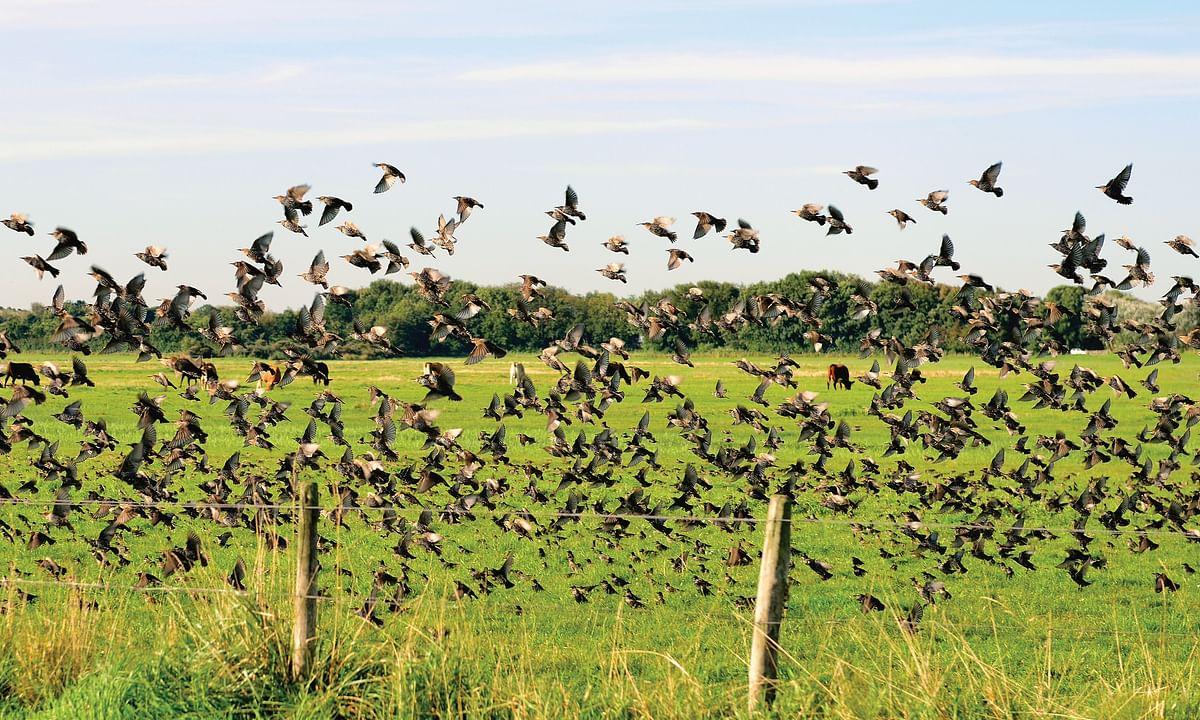 Investigating Phenomena: How and Why Do Birds Coordinate Flight?