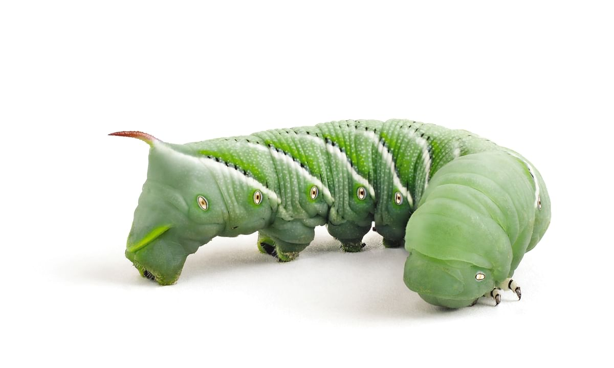Teach Life Cycles with the Tobacco Hornworm