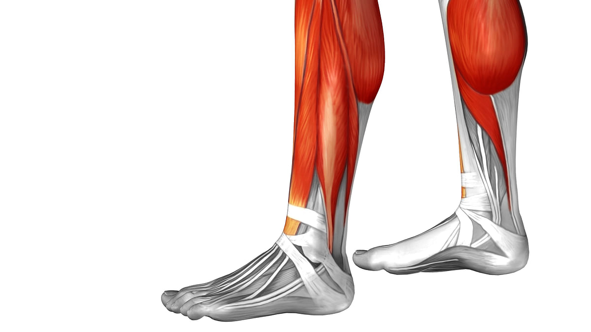 Muscles in the lower leg