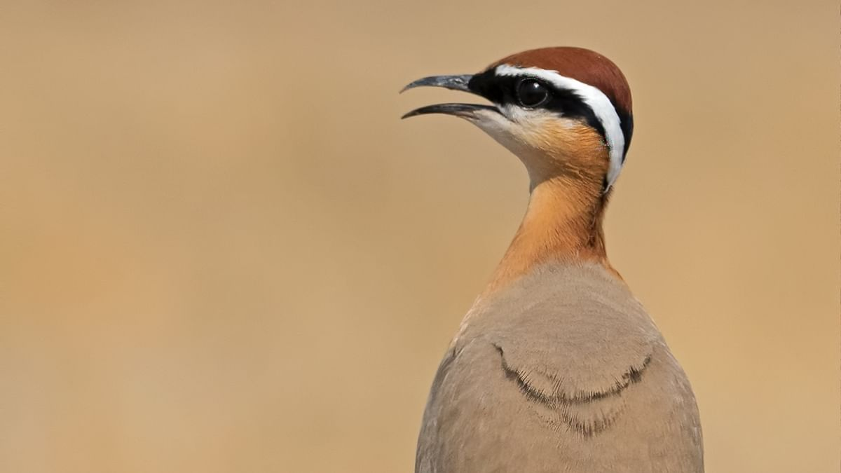 Birds of India: Indian courser