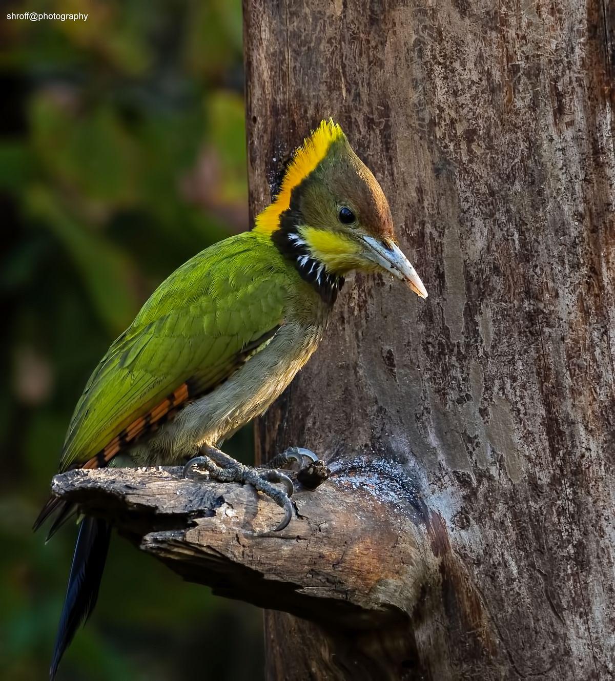 Birds of India: Greater yellownape woodpecker