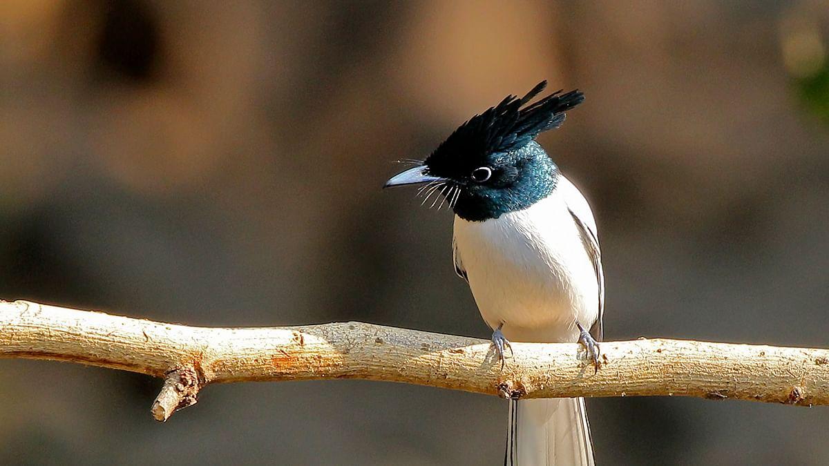 Birds of India: Indian paradise flycatcher