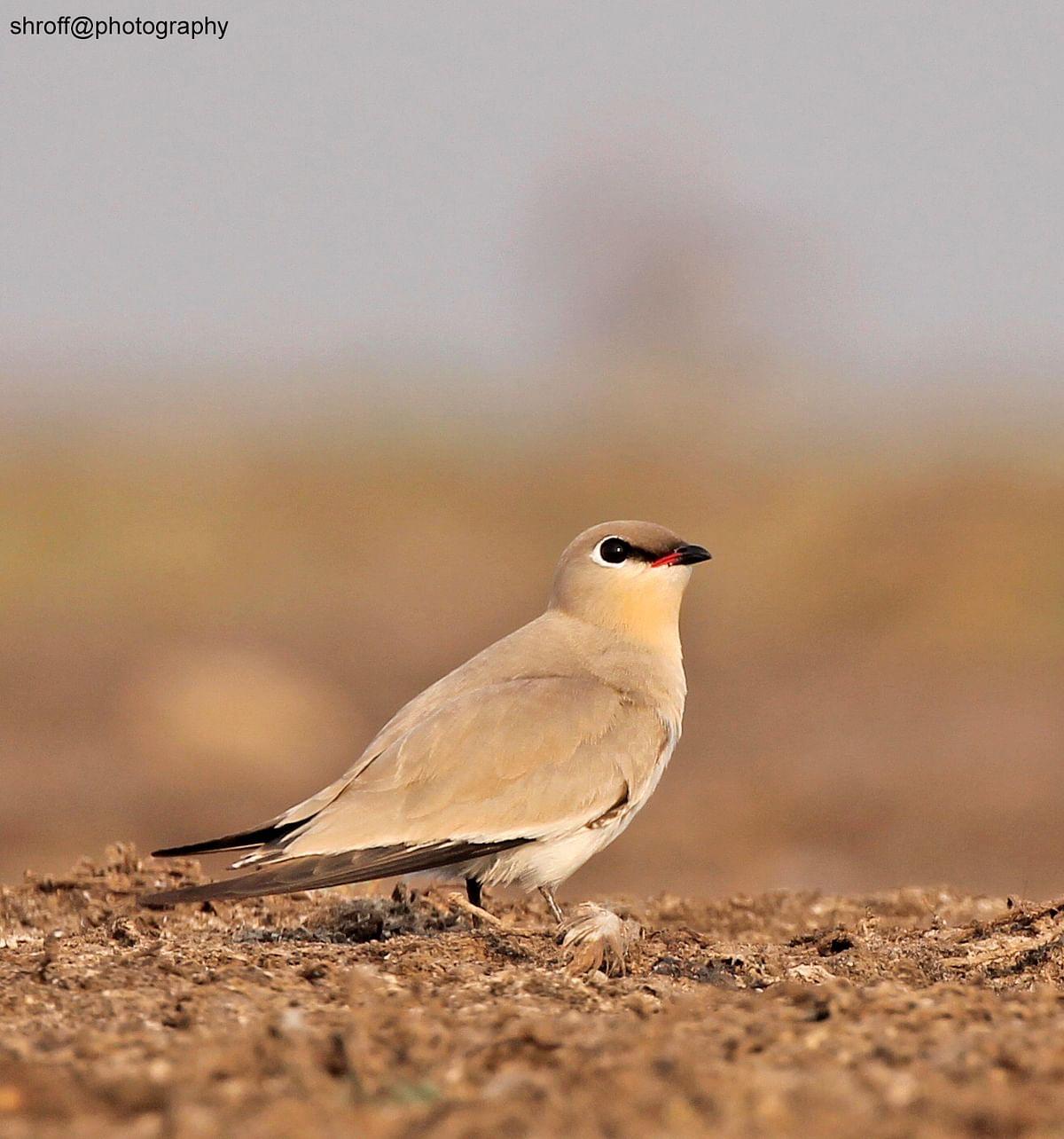 Birds of India: Small pratincole