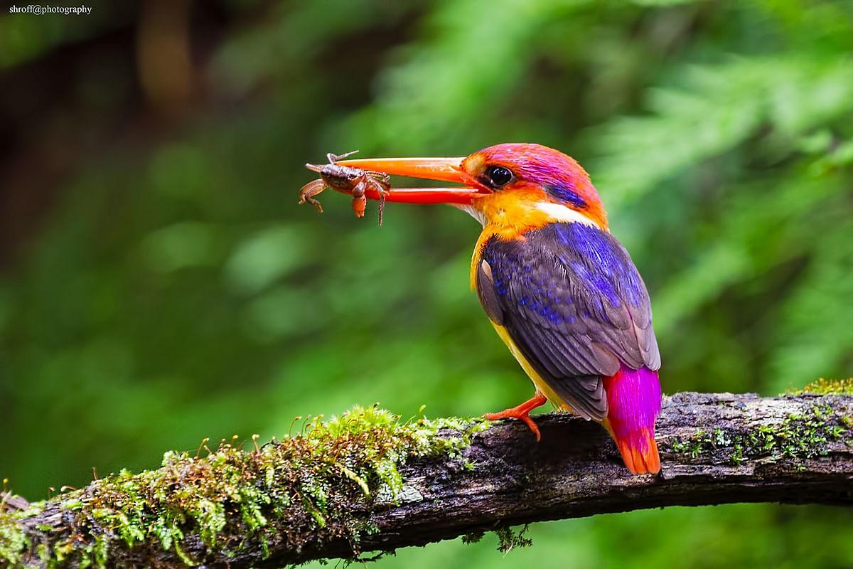 Birds of India: Oriental dwarf kingfisher