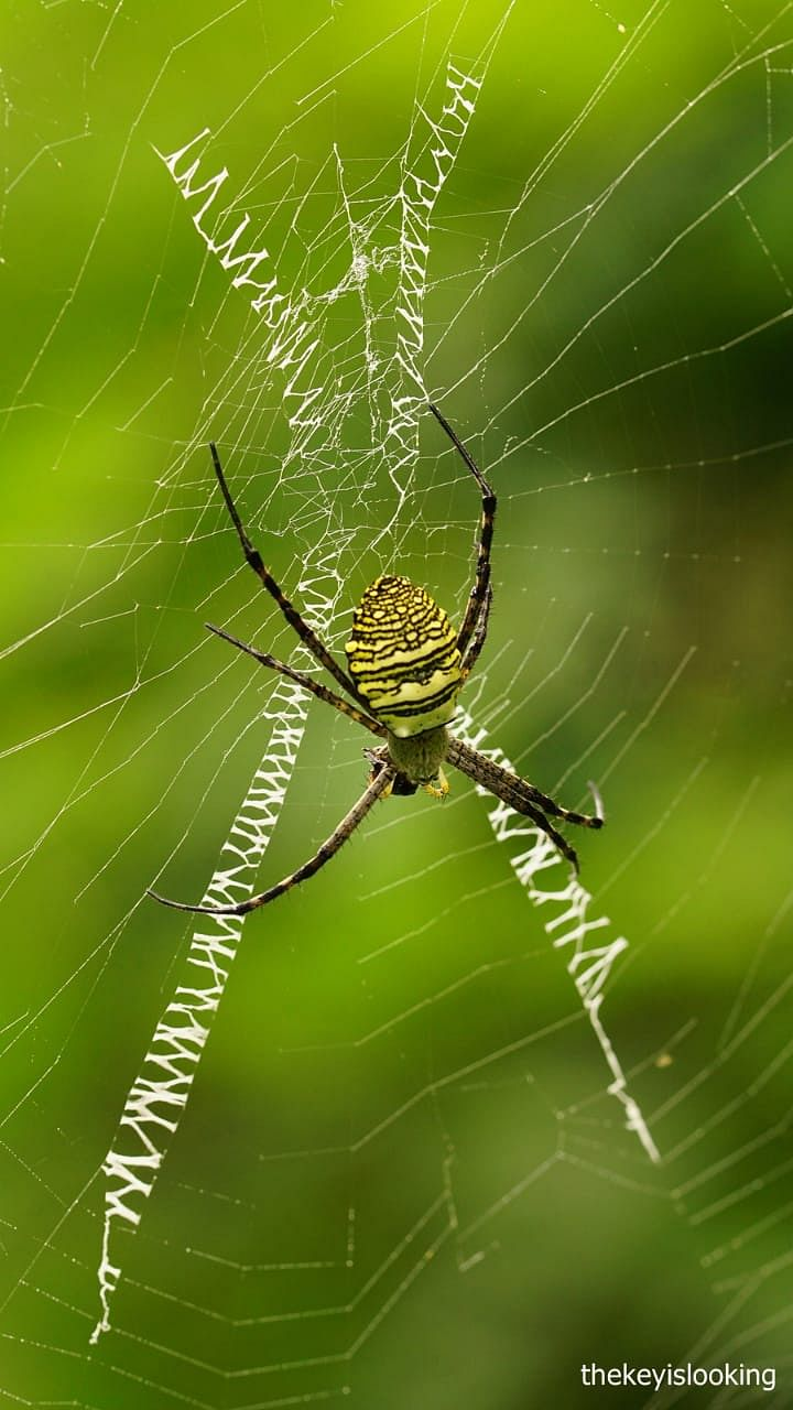 Signature spider - the Picasso among spiders