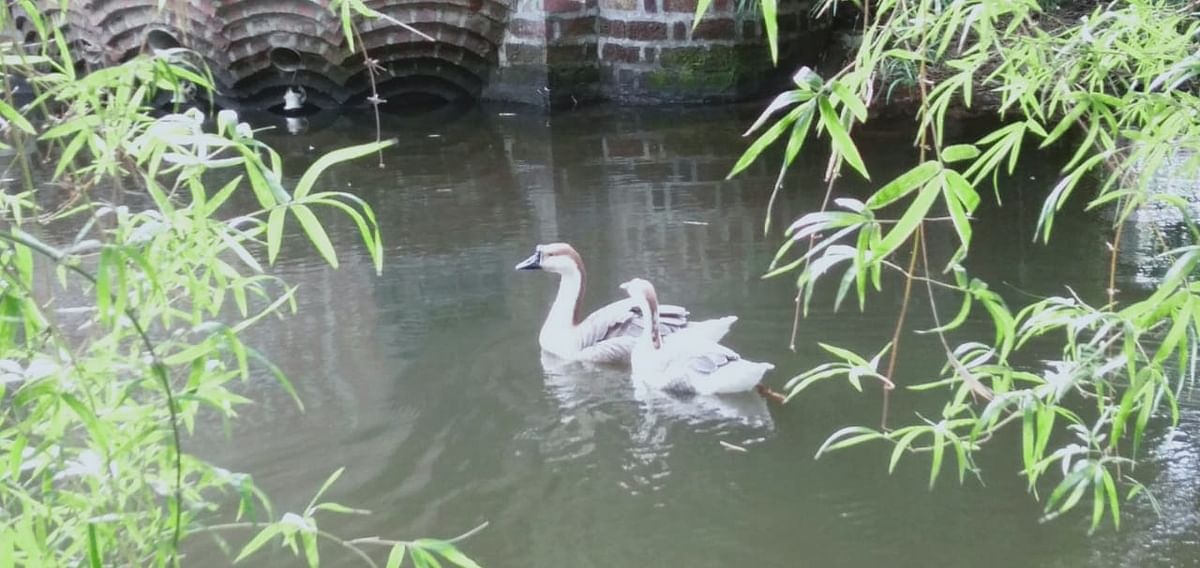 A pair of geese swimming in the water body