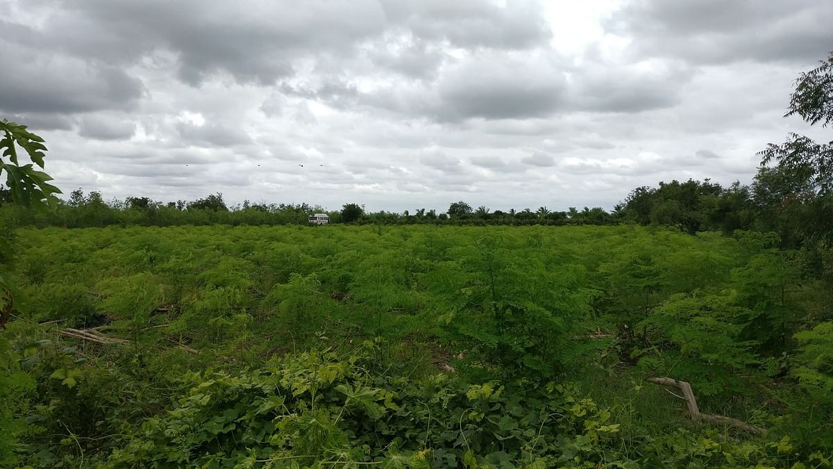 Acres of green - the fields in Bhodani village