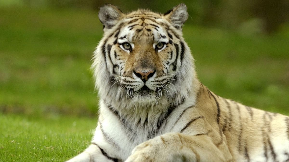 Tiger at Bronx Zoo in New York tests positive for coronavirus amid fears six other animals have ...
