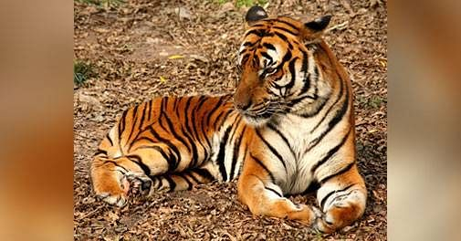 Coronavirus in US: Tiger at NYC's Bronx Zoo tests positive for COVID-19
