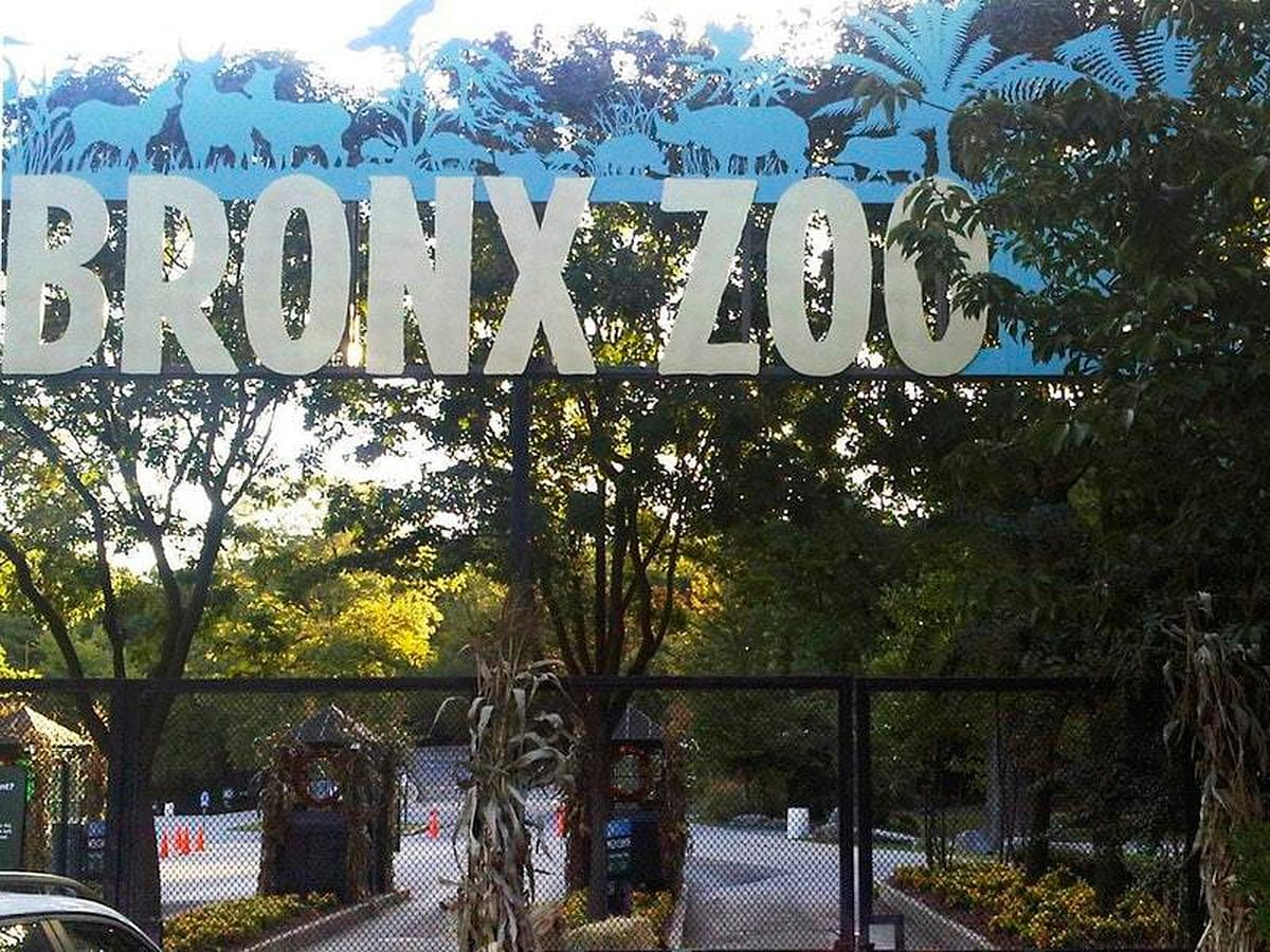 Tiger at zoo in New York tests positive for coronavirus