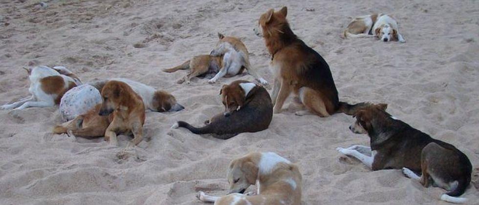 Goa: भटक्या कुत्र्यांच्या निर्जंतुकीकरणात कलंगुट पंचायत अग्रेसर