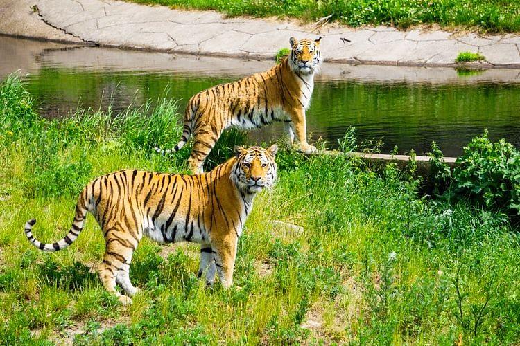 International Tiger Day: White Tiger found in Ranthambore, Madhya Pradesh