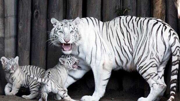 International Tiger Day 2021: पांढऱ्या वाघाची कुळकथा