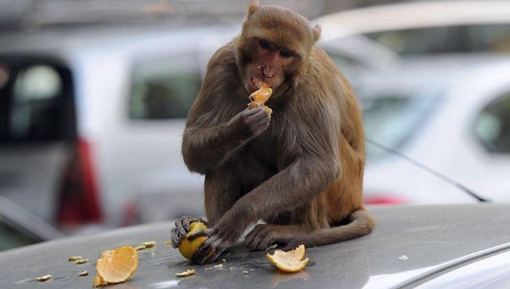 माणसं आहात की हैवान? 35 माकडांची विष देऊन हत्या