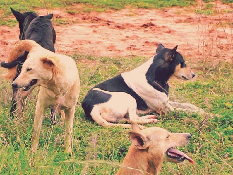 Goa: आमोण्यात भटक्या कुत्र्यांचा उपद्रव