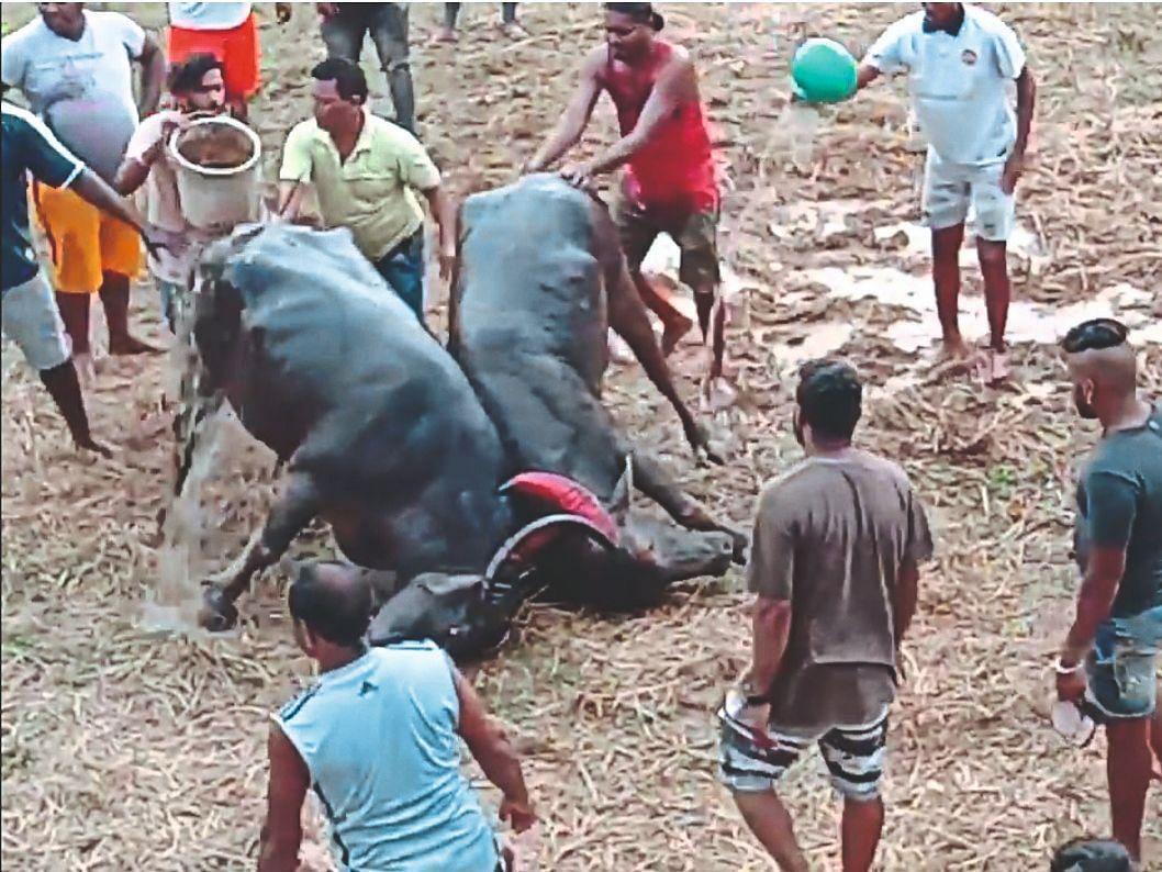 Goa: तब्बल पाच ठिकाणी होणार धिरयो!