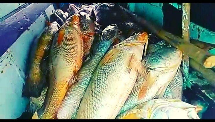 पालघरमध्ये मच्छीमार झाला करोडपती, 157 'सी गोल्ड' मासे अडकले जाळ्यात