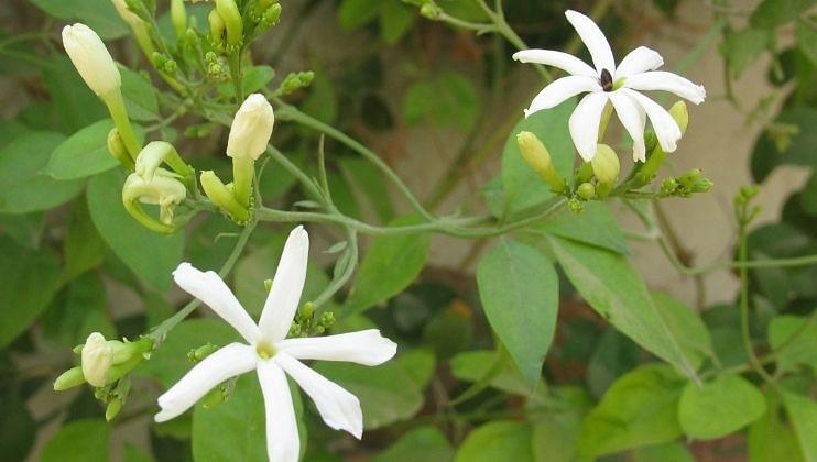 गणपती बाप्पांला जाईचे फूल अर्पण करावे. तसेच या फुलांचा हार सुद्धा अर्पण  केला जातो. गणपती बाप्पांला जाईचे फूल  प्रिय आहे. हे फूल अर्पण केल्यास तुमच्या सर्व इच्छा लवकर पूर्ण होतात.