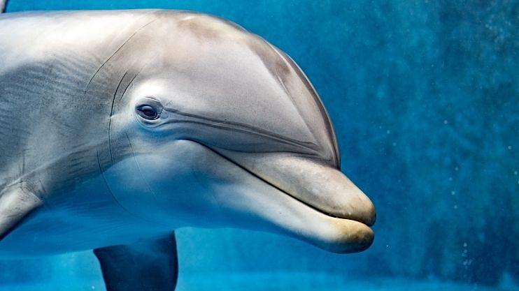 सेक्शुअली एग्रेसिव्ह डॉल्फिनमुळे जलतरणपटूंना समुद्रात नो एन्ट्री