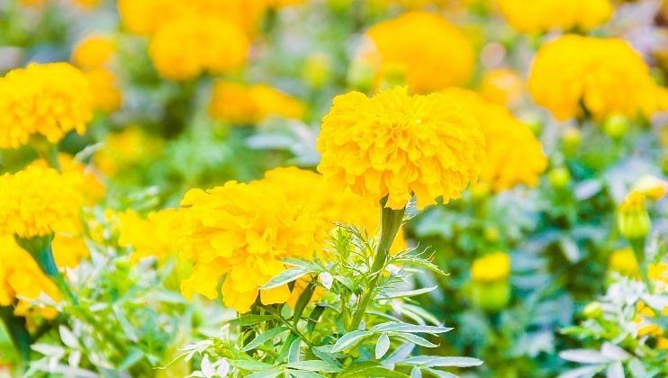 मुख्यत: झेंडूचे फूल गणपती बाप्पांला अर्पण केली जातात. तसेच या फुलांचा हार सुद्धा अर्पित केला जातो. गणपती बाप्पांला झेंडूचे फूल प्रिय आहे.  हे फूल अर्पण केल्यास तुमच्या सर्व इच्छा लवकर पूर्ण होतात.