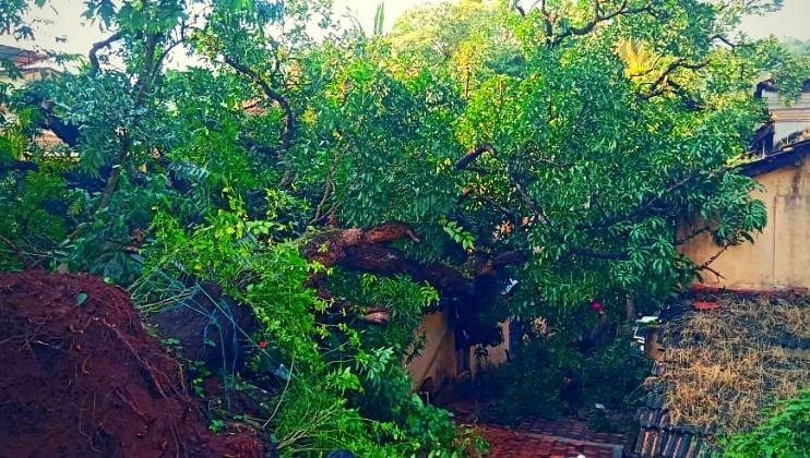 साखळीत घरावर कोसळला आम्रवृक्ष