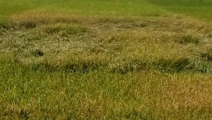 पावसाच्या तडाख्याने भातपिकाची नासाडी